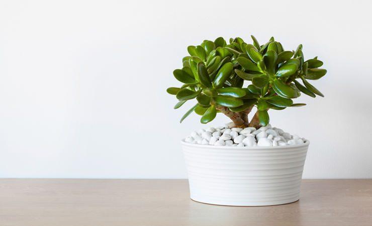 Planta Jade: atrai boa sorte, dinheiro, prosperidade para nossa vida