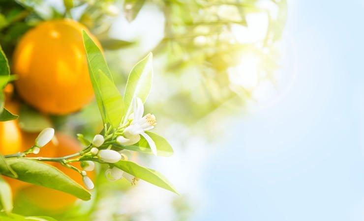 A magia das folhas de laranjeira